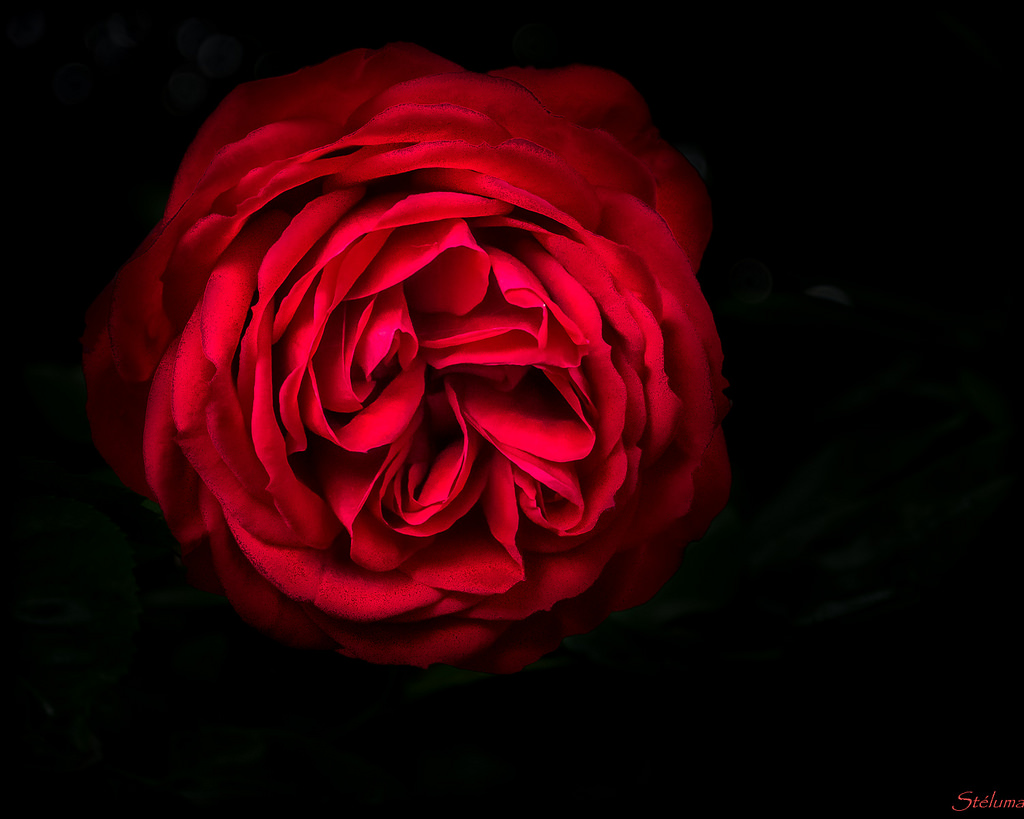A red rose against a black background.