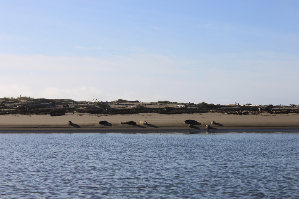 Seals lying on a beach.